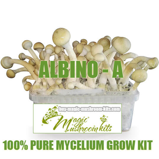 Albino A magic mushroom grow kit