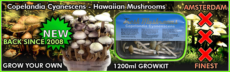 Copelandia Cyanescens growkit
