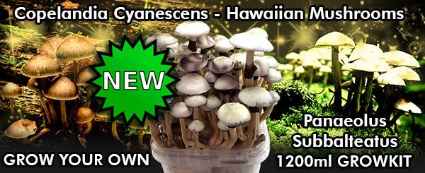 buy copelandia cyanescens hawaiian mushroom growkit filled with the Panaeolus Subbalteatus strain from Amsterdam