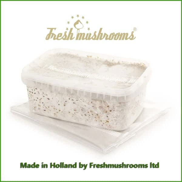 Golden Teacher 1200ml Grow Kit Freshmushrooms mycelium