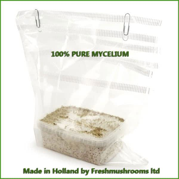 Golden Teacher 1200ml kweekset mycelium Freshmushrooms
