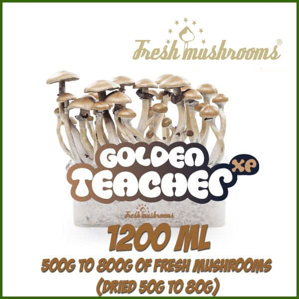 Golden Teacher 100% mycelium cubensis growkit | Buy Magic Mushrooms Kits